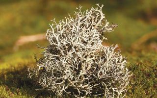 Гербион исландский мох: инструкция по применению и свойства