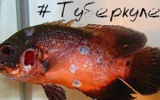 Туберкулез у рыб: симптомы, лечение, опасен ли он для человека