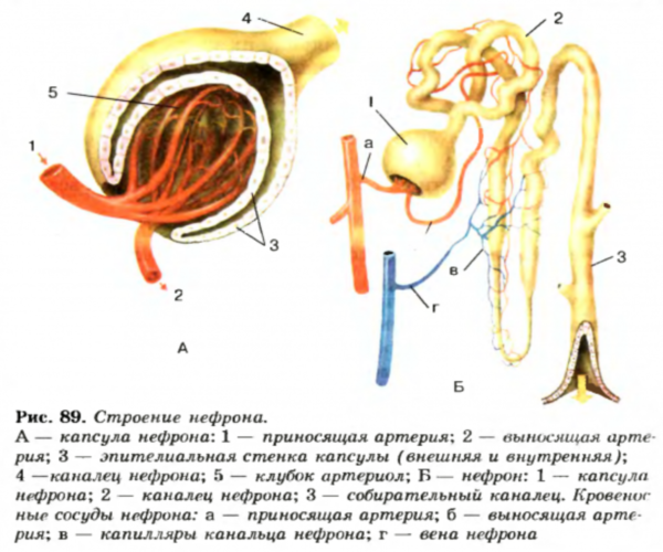 Что такое нефрон: строение, виды и основные функции