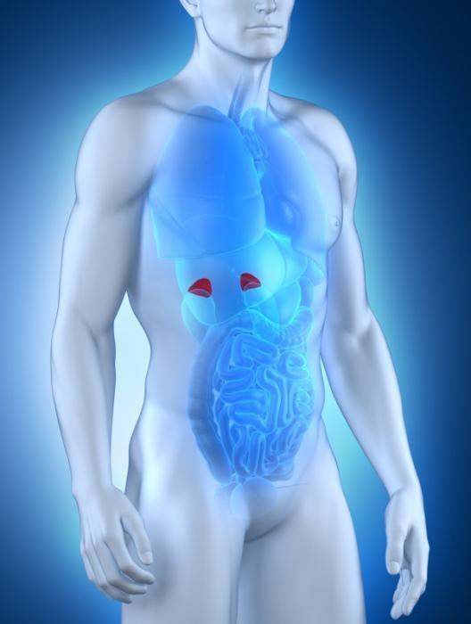 Надпочечники их строение и основные функции и гормоны