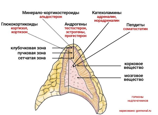 Гормоны надпочечников: виды и основные функции