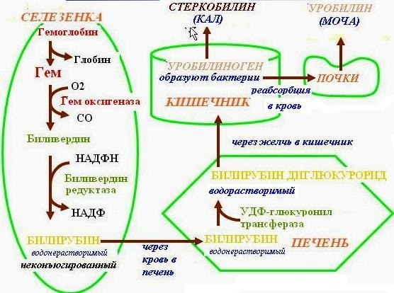 Билирубин в анализе мочи: методы определения