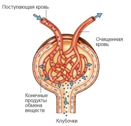 Что такое моча: процесс образования и органолептические свойства