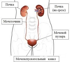 Парауретральная киста – разновидности, симптомы и лечение