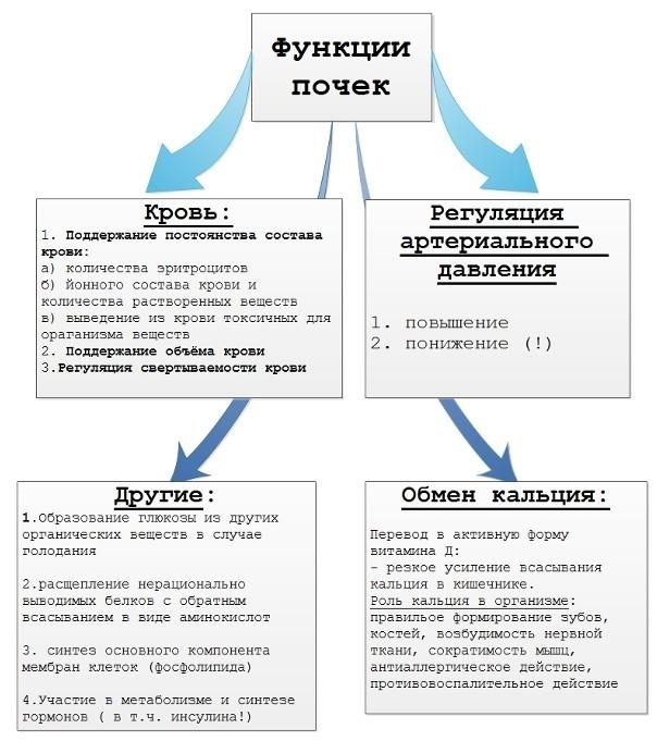 Строение и функции почек - полное описание с фото