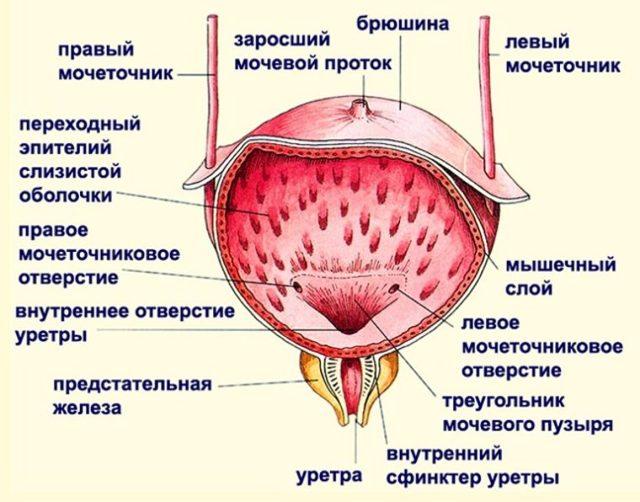 Спазм мочевого пузыря: причины, симптомы, лечение, профилактика