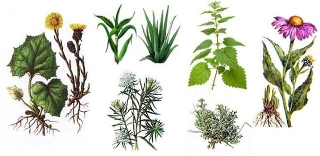 Травы от туберкулеза легких